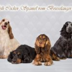 English Cocker Spaniel vom Brieselanger Licht